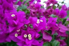 purpurowy małe kwiatki Zdjęcie Stock