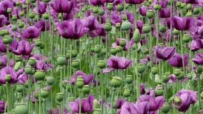 Purpurowy maczek kwitnie w polu Papaver - somniferum zbiory wideo