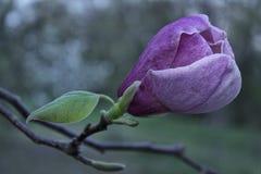 Purpurowy magnoliowy kwiat Zdjęcie Royalty Free