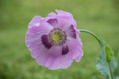 Purpurowy makowy kwiat w polu zielona trawa kosmos kopii zdjęcia royalty free