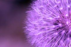 purpurowy mniszek zdjęcia royalty free