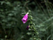 Purpurowy naparstnica kwiatu zakończenie obraz stock