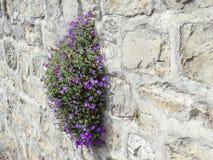Purpurowy Obrieta r na kamiennej ścianie wioska święty w wiośnie, kanton Vaud, Szwajcaria obraz royalty free