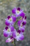purpurowy orchidea biel obraz royalty free