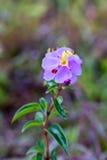 Purpurowy Osbeckia w zakończeniu up (Osbeckia chinensis) Obrazy Stock