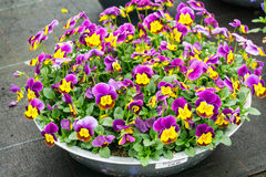 Purpurowy pansie kwitnie przy wiosną Zdjęcie Stock