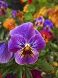 Purpurowy pansy kwiat z pięknym brylanta wzorem w ogródzie obrazy stock