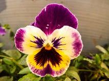 Purpurowy pansy w ogródzie Fotografia Royalty Free