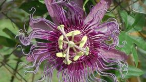 Purpurowy Pasyjny kwiat z Bladożółtym Stamen zdjęcie wideo