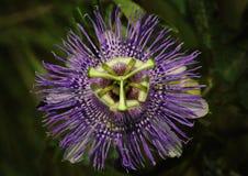 Purpurowy Pasyjny kwiatu winograd zdjęcie stock