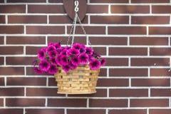 Purpurowy petuni obwieszenie obrazy stock