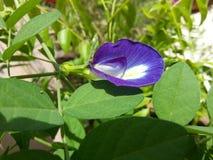Purpurowy piękno Zdjęcie Stock