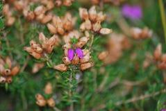 Purpurowy piękno Fotografia Royalty Free