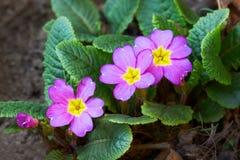 Purpurowy pierwiosnek w ogródzie fotografia stock