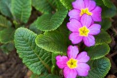 Purpurowy pierwiosnek w ogródzie fotografia royalty free