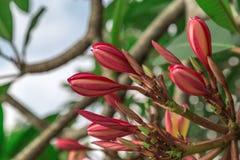 Purpurowy Plumeria Frangipani z okulizowanie kwiatami Obraz Royalty Free