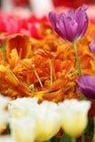 Purpurowy pomarańczowy tulipanowy zbliżenie Obraz Royalty Free