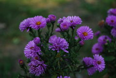 Purpurowy popkorn Fotografia Stock