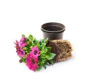 Purpurowy przylądek stokrotki kwiat przygotowywający dla plantingisolated Zdjęcie Royalty Free