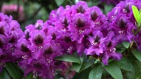 Purpurowy różanecznik kwitnie na pięknym tle Kolor korekcja zbiory wideo