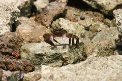 Purpurowy Rączy brzeg krab Fotografia Royalty Free