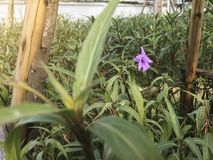 Purpurowy Ruellia tuberosa, ACANTHACEAE wewnątrz ostrzega lekkiego pojęcie obraz royalty free