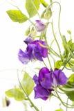 Purpurowy słodki groch Obrazy Royalty Free