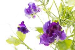 Purpurowy słodki groch Obrazy Stock