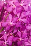 Purpurowy Storczykowy świeżego kwiatu tło Obrazy Stock