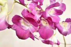Purpurowy Storczykowy Dendrobium Zdjęcie Stock
