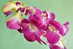 Purpurowy Storczykowy Dendrobium Zdjęcia Stock