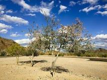 Purpurowy Storczykowy drzewo, Salome, AZ Fotografia Stock