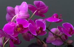 Purpurowy Storczykowy Kwiat Fotografia Royalty Free