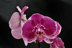 Purpurowy Storczykowy kwiat na czerni Obraz Royalty Free
