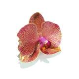 Purpurowy Storczykowy kwiat odizolowywający fotografia royalty free