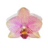 Purpurowy Storczykowy kwiat odizolowywający obrazy stock
