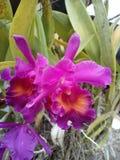 Purpurowy storczykowy kwiat Thailand Fotografia Stock