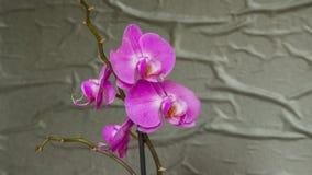 Purpurowy storczykowy kwiatu phalaenopsis Zako?czenie obrazy royalty free