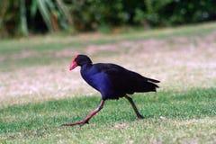 Purpurowy Swamphen bieg na zielonej trawie Fotografia Royalty Free