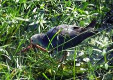 Purpurowy Swamphen (Porphyrio Porphyrio) Obraz Stock