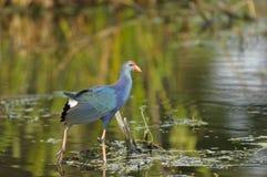 Purpurowy Swamphen, (Porphyrio porphyrio) Fotografia Stock
