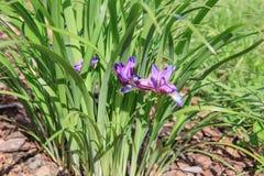 Purpurowy Syberyjski Irysowy kwiat z roślinami, Irlandzki sibirica Obrazy Royalty Free
