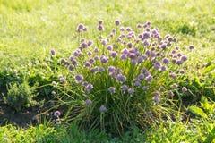 Purpurowy szczypiorek na ogródzie Zdjęcia Royalty Free