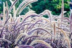 purpurowy traw Zdjęcia Stock