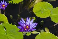 Purpurowy Tropikalny waterlily zdjęcie royalty free
