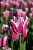 purpurowy tulipan Obrazy Stock