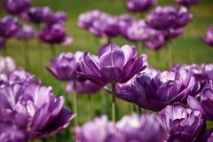 purpurowy tulipan Obraz Stock