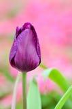 Purpurowy tulipan Fotografia Royalty Free