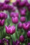 Purpurowy tulipan 3 (portret) Obraz Royalty Free