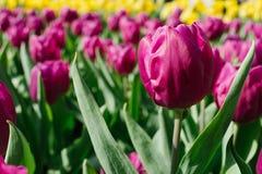 Purpurowy tulipan przy ogrodowym Hong kong Fotografia Royalty Free